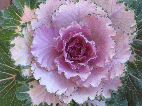 flowering cabbage flower trends